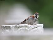台南關子嶺的山麻雀親鳥育雛:074A3642.JPG