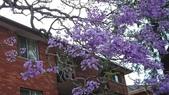2017雪梨的藍花楹:10369.jpg