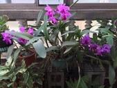 老父遺愛-嘉德麗雅蘭十月開花:1041005.jpg