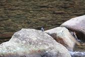 雙溪秋天的鳥類:074A5473.JPG