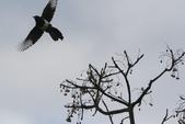 復旦大埤塘周遭的鳥兒:N74A2948苦楝樹.JPG