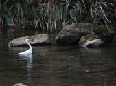 雙溪秋天的鳥類:074A5614二種水鳥.jpg