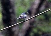 新天母公園的鵲鴝雄鳥:074A5778.JPG