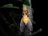 紅脈熊蟬剛羽化的雄蟬-翅脈橘黃色:DSC09743雄蟬- 腹面發音器橙黃色.JPG
