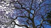 2017雪梨的藍花楹:10546.jpg