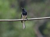新天母公園的鵲鴝雄鳥:074A5786.JPG