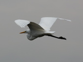 鰲鼓的候鳥與水鳥:074A7920.JPG