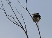 復旦大埤塘周遭的鳥兒:N74A2961a.jpg