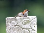 台南關子嶺的山麻雀親鳥育雛:074A3543.JPG