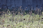 復旦大埤塘的鳥兒:074A7304.JPG