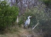 鰲鼓的候鳥與水鳥:074A7915.JPG