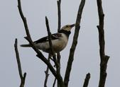 復旦大埤塘周遭的鳥兒:N74A2985.JPG