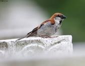 台南關子嶺的山麻雀親鳥育雛:074A3667山麻雀公鳥.JPG