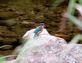雙溪秋天的鳥類:074A5705.jpg