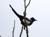 復旦大埤塘周遭的鳥兒:N74A2999喜鵲.JPG