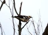復旦大埤塘周遭的鳥兒:N74A3014.JPG