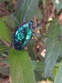 藍艷白點花金龜:DSC08655.JPG