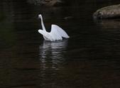 雙溪秋天的鳥類:074A5619a.jpg
