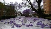 2017雪梨的藍花楹:10493.jpg