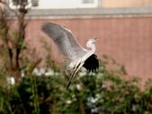 復旦社區冬天的鳥兒:074A7729a.jpg