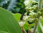 錐口蠅(口鼻蠅)吸野桐雄花的花蜜:DSC07933.JPG