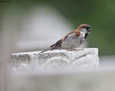 台南關子嶺的山麻雀親鳥育雛:074A3670.JPG