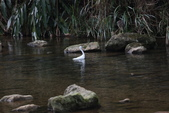 雙溪秋天的鳥類:074A5614.JPG