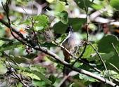 冬至大雪山活潑的鳥兒與松鼠:074A6934白耳畫眉鳴叫.jpg