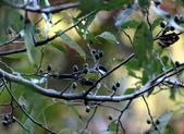 冬至大雪山活潑的鳥兒與松鼠:074A6901青背山雀.JPG