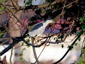 復旦社區冬天的鳥兒:074A7734a.jpg