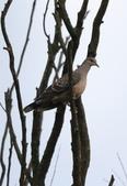復旦大埤塘周遭的鳥兒:N74A3007.JPG