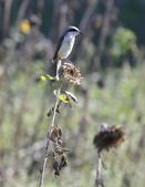 復旦大埤塘的鳥兒:074A7304紅尾伯勞.jpg
