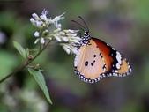 南投特生中心:IMG_7207樺斑蝶(雄)4枚黑色斑點.jpg