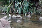 雙溪秋天的鳥類:074A5631.JPG