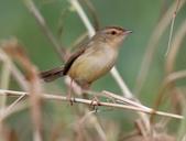 復旦大埤塘周遭的鳥兒:N74A3011a.jpg