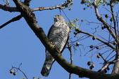 鳳頭蒼鷹-台灣二級珍貴稀有猛禽:N74A4526身長40~48 cm,翼展47~90 cm.JPG
