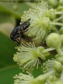錐口蠅(口鼻蠅)吸野桐雄花的花蜜:DSC07935a.jpg