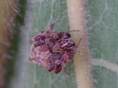 艾瑟毛圓蛛(雄與雌)-構樹:DSC08346艾瑟毛圓蛛(雄).jpg