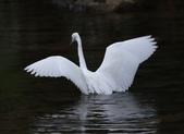 雙溪秋天的鳥類:074A5622a.jpg