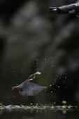 水鳥捕魚千裡挑一精彩鏡頭:N74A6719.JPG