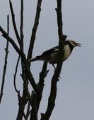 復旦大埤塘周遭的鳥兒:N74A2975.JPG