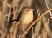 褐頭鷦鶯、粉紅鸚嘴、紅尾伯勞與灰頭鷦鶯:074A8746a.jpg