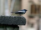 新天母公園的鵲鴝雄鳥:074A5777a.jpg