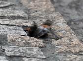 台南關子嶺的山麻雀親鳥育雛:074A3506繼續洗砂浴.JPG