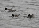 鰲鼓的侯鳥與水鳥:N74A3117尖尾鴨.JPG
