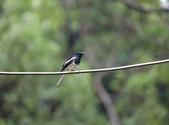 新天母公園的鵲鴝雄鳥:074A5785.JPG