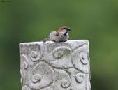 台南關子嶺的山麻雀親鳥育雛:074A3529.JPG