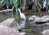 雙溪秋天的鳥類:074A5631小白鷺.jpg