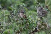 復旦-新天母公園的鳥兒:N74A3693.JPG