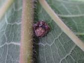 艾瑟毛圓蛛(雄與雌)-構樹:DSC08344.JPG